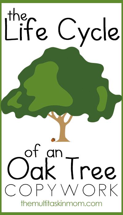 Oak Tree Life Cycle Copywork