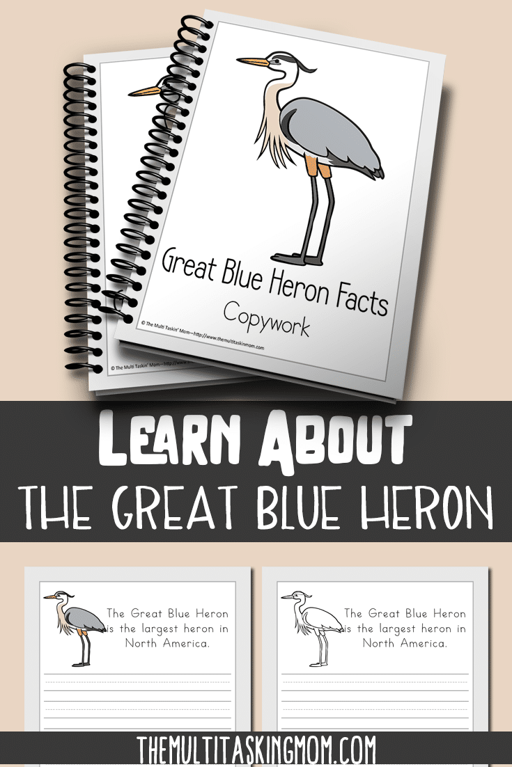 This Color and Copywork pack features the beautiful bird: The Great Blue Heron. Learn all about it now!